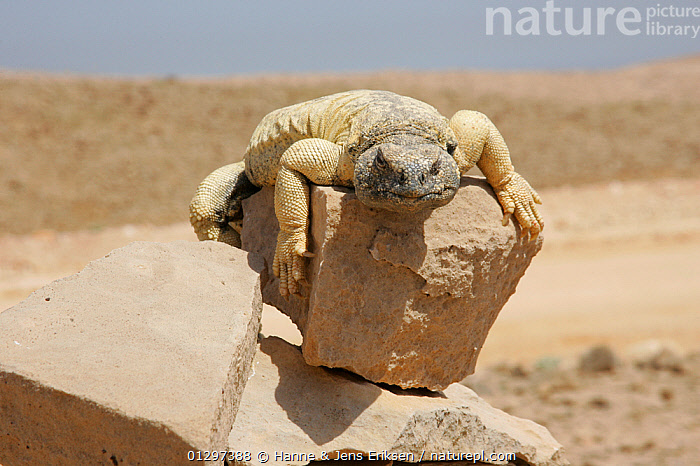 Spiny tailed lizard {Uromastyx aegyptius microlepus} sunning on rock, Oman, April  ,  AGAMAS, ARABIA, attitude, balancing, concepts, DESERTS, EXPRESSIONS, HABITAT, hot, HUMOROUS, LIZARDS, MIDDLE-EAST, REPTILES, THERMOREGULATION, VERTEBRATES  ,  Hanne & Jens Eriksen