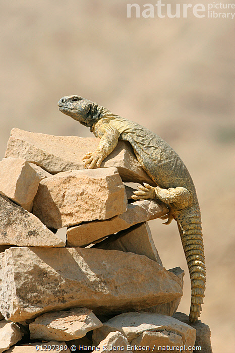 Spiny tailed lizard {Uromastyx aegyptius microlepus} climging up onto rock, Oman, April  ,  AGAMAS, ARABIA, BEHAVIOUR, DESERTS, LIZARDS, MIDDLE-EAST, REPTILES, VERTEBRATES, VERTICAL  ,  Hanne & Jens Eriksen