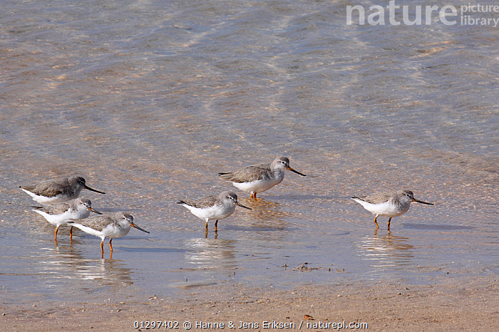 Terek sandpiper {Xenus cinereus} flock along beach, UAE, November  ,  ARABIA,BIRDS,COASTS,DESERTS,FLOCKS,GROUPS,MIDDLE EAST,SANDPIPERS,SIX,VERTEBRATES,WADERS  ,  Hanne & Jens Eriksen