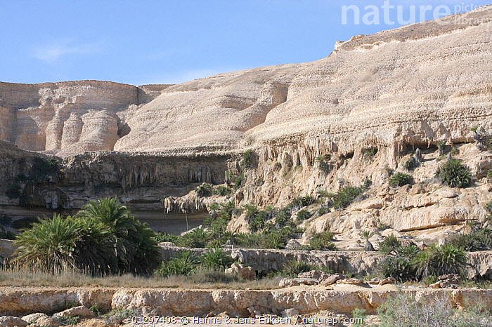Wadi Shuwaymiyah, a dry riverbed (wadi) with hanging gardens along mountain side, Oman, March  ,  ARABIA,CLIFFS,DESERTS,DRY SEASON,LANDSCAPES,MIDDLE EAST,PLANTS,RIVERS,ROCKS,Geology  ,  Hanne & Jens Eriksen