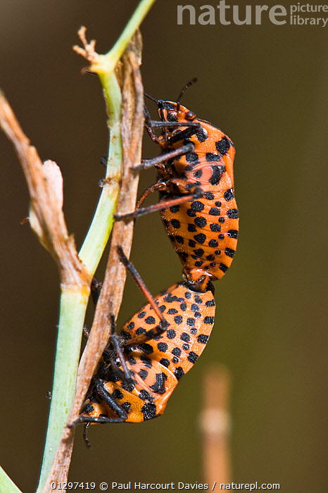Italian Shield / Harlequin Bug (Graphosoma italicum) mating pair. The red striping is a warning colour of foul taste. Italy, Europe.  ,  BUGS,EUROPE,HEMIPTERA,INSECTS,INVERTEBRATES,ITALY,MALE FEMALE PAIR,MATING BEHAVIOUR,SHIELDBUGS,VERTICAL  ,  Paul Harcourt Davies