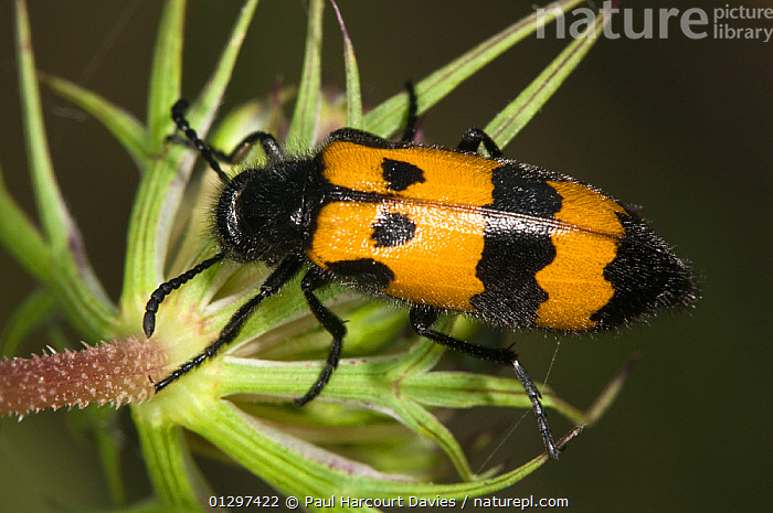 Yellow Meloid / Blister Beetle (Mylabris variabilis) on flower feeding on pollen. Italy, Europe.  ,  BEETLES, BLISTER-BEETLES, CLOSE-UPS, COLEOPTERA, EUROPE, FEEDING, FLOWERS, GRASSLAND, INSECTS, INVERTEBRATES, ITALY, MACRO  ,  Paul Harcourt Davies