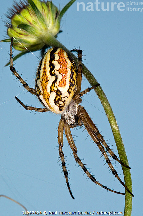 Orb-web spider (Aculepeira armida) female waiting on the edge of her web late in the day. Italy, Europe  ,  ARACHNIDS,CLOSE UPS,EUROPE,FEMALES,INVERTEBRATES,ITALY,MACRO,SPIDER,SPIDERS,SUMMER  ,  Paul Harcourt Davies