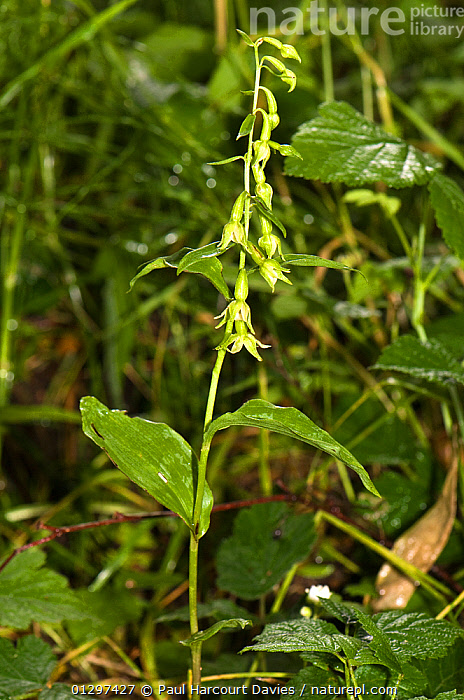 Kenfig helleborine (Epipactis phyllanthes / cambrensis) close-up of flowers. An orchid endemic to the Kenfig dunes in South Wales, UK  ,  ENDEMIC,EUROPE,FLOWERS,MONOCOTYLEDONS,ORCHIDACEAE,ORCHIDS,PLANTS,SAND DUNES,UK,VERTICAL,WALES,United Kingdom  ,  Paul Harcourt Davies