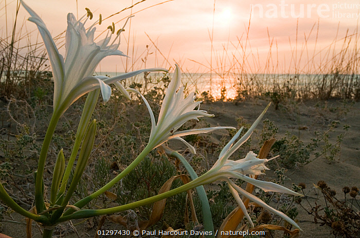 Sea Daffodil / Sea Lily (Pancratium maritimum) flowering on sand dunes late in the afternoon, and remains open overnight, when it is pollinated by the Convolvulus Hawkmoth (Herse convolvuli) Italy, Europe  ,  COASTS,EUROPE,ITALY,LILIACEAE,MONOCOTYLEDONS,MOTH POLLINATED,NOCTURNAL,PERFUMED,PLANTS,SAND DUNES,SCENTED  ,  Paul Harcourt Davies