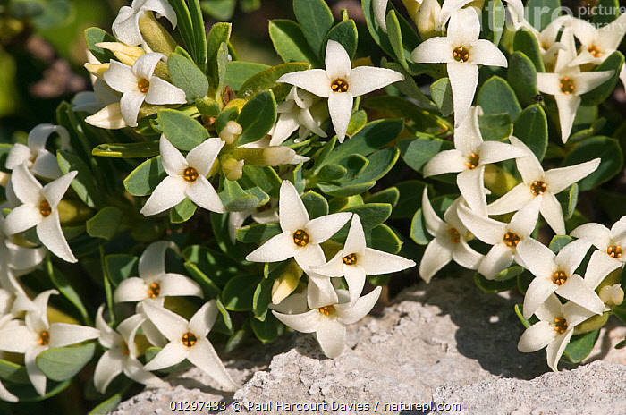 Daphne oleoides in flower. This is a dwarf, highly fragrant, alpine shrub  Toxic if in contact with skin. Mt Simbruini, Italy, Europe.  ,  CLOSE UPS,EUROPE,FLOWERS,ITALY,MACRO,PLANTS,THYMELAEACEAE  ,  Paul Harcourt Davies