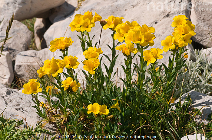 Yellow flax (Linum flavum) in flower, by a wall. Apennine mountains, Italy, Europe.  ,  ALPINE,DICOTYLEDONS,EUROPE,FLOWERS,ITALY,LINACEAE,PLANTS,YELLOW  ,  Paul Harcourt Davies
