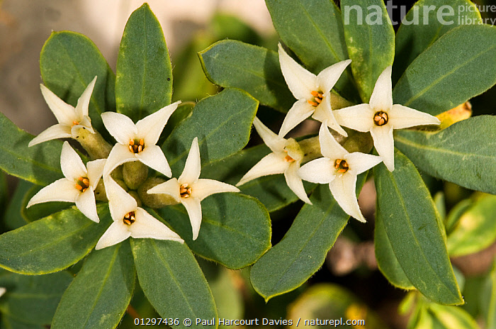 Daphne oleoides in flower. This is a dwarf, highly fragrant, alpine shrub  Toxic if in contact with skin. Mt Simbruini, Apennine mountains, Italy, Europe.  ,  ALPINE,CLOSE UPS,DAPHNE,EUROPE,FLOWERS,ITALY,MACRO,MOUNTAINS,PLANTS,THYMELAEACEAE  ,  Paul Harcourt Davies