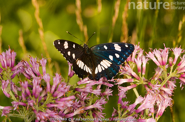 Southern White Admiral butterfly (Limenitis reducta) at 1800m on Mt. Terminillo feeding on Adenostylis. Apennine mountains, Italy, Europe.  ,  ALPINE,ARTHROPODS,BUTTERFLIES,COLOURFUL,EUROPE,FLOWERS,INSECTS,INVERTEBRATES,ITALY,LEPIDOPTERA  ,  Paul Harcourt Davies