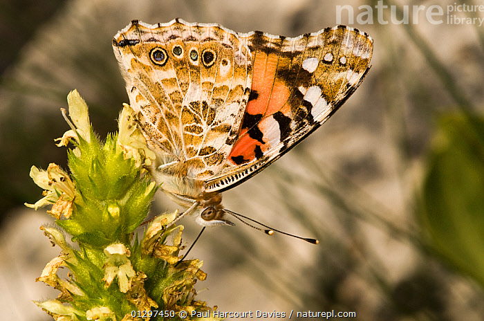 Painted Lady butterfly (Vanessa cardui) at rest, feeding on nectar. Part of the migration of 2009 photographed on Mt terminillo at 2000m. Apennine mountains, Italy, Europe.  ,  ARTHROPODS, BUTTERFLIES, CLOSE-UPS, EUROPE, FEEDING, INSECTS, INVERTEBRATES, ITALY, LEPIDOPTERA, MACRO  ,  Paul Harcourt Davies