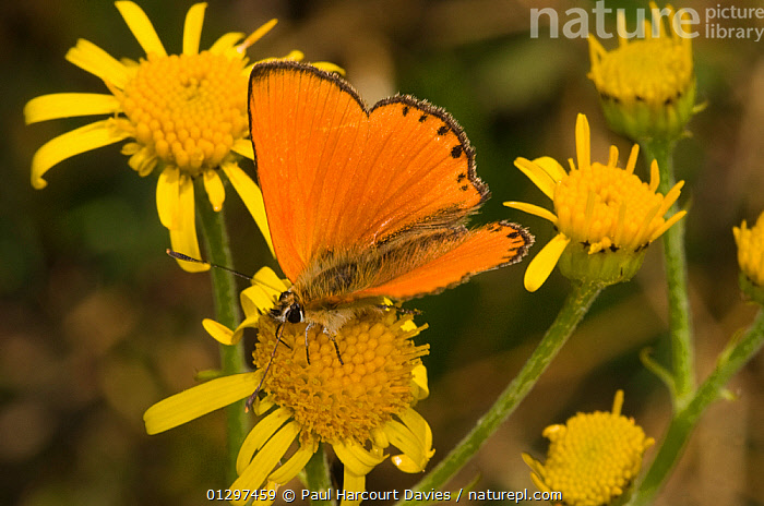Scarce Copper butterfly (Heodes / Lycaena virgaureae)  feeding on nectar rich flowering plants in Alpine meadow, Apennine mountains, Italy, Europe  ,  ALPINE,ARTHROPODS,BUTTERFLIES,COLOURFUL,EUROPE,FLOWERS,INSECTS,INVERTEBRATES,ITALY,LEPIDOPTERA,MOUNTAINS,ORANGE,YELLOW  ,  Paul Harcourt Davies