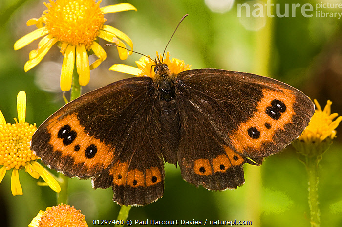 Arran Brown butterfly (Erebia ligea) feeding on nectar rich flowering plants in Alpine meadow, Apennine mountains, Italy, Europe  ,  ALPINE,BUTTERFLIES,CLOSE UPS,EUROPE,FEEDING,FLOWERS,INSECTS,INVERTEBRATES,ITALY,LEPIDOPTERA,MOUNTAINS  ,  Paul Harcourt Davies