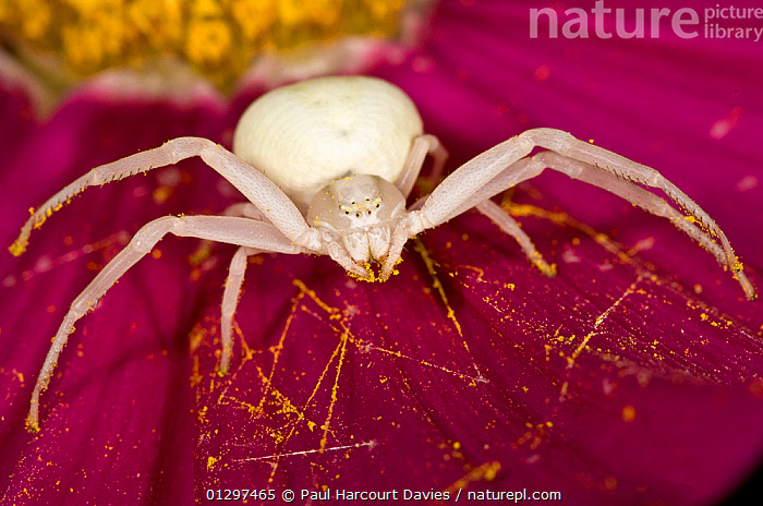 Crab / Goldenrod spider (Misumena vatia) alert and waiting for prey on a flower petal, in garden at Podere Montecucco, Italy.  ,  ARACHNIDS,ARTHROPODS,CLOSE UPS,COLOURFUL,CRAB SPIDERS,CULTIVATED,EUROPE,FLOWERS,GARDENS,HUNTING,INVERTEBRATES,ITALY,MACRO,PINK  ,  Paul Harcourt Davies