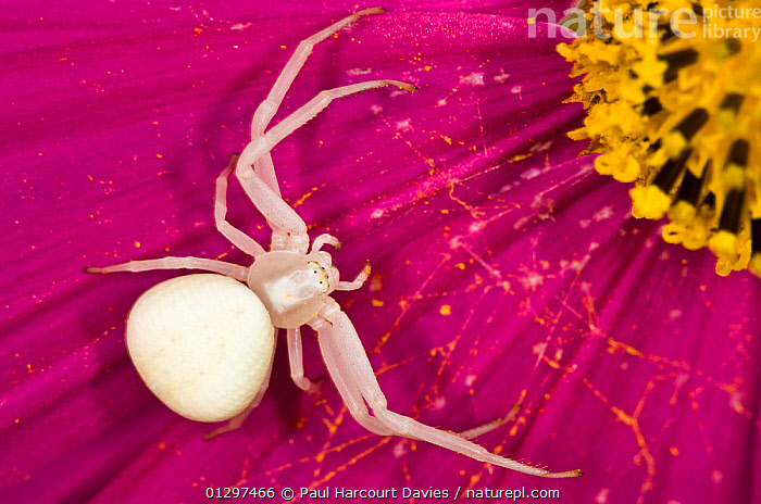 Crab / Goldenrod spider (Misumena vatia) alert and waiting for prey on a flower petal, in garden at Podere Montecucco, Italy, Europe.  ,  ARACHNIDS,ARTHROPODS,COLOURFUL,CRAB SPIDERS,CULTIVATED,EUROPE,FLOWERS,GARDENS,INVERTEBRATES,ITALY,MACRO,PINK,SPIDERS  ,  Paul Harcourt Davies