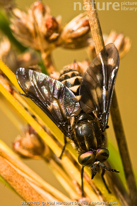 Deer / Horse fly (Chrysops relictus) close-up portrait, on grass stems, Italy, Europe  ,  CLOSE UPS,DEER FLIES,DIPTERA,EUROPE,EYES,HORSEFLY,INSECTS,INVERTEBRATES,ITALY,MACRO  ,  Paul Harcourt Davies