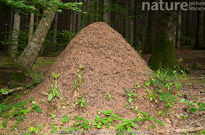 Wood Ant (Formica rufa) nest made from pine debris in mountain woodland. Wood ants are protected by law in Italy for their role in destroying forest pests. Italy, Europe.  ,  ANTS,ARTHROPODS,BIO CONTROL,EUROPE,HYMENOPTERA,INSECTS,INVERTEBRATES,ITALY,NESTS,WOODLANDS  ,  Paul Harcourt Davies