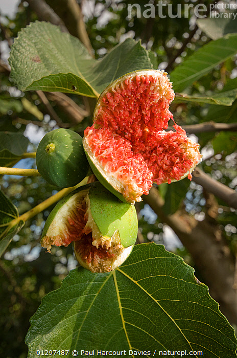 Cultivated Fig tree (Ficus carica) with over-ripe fruit, bursting after autumnal rains. Italy, Europe  ,  CULTIVATED,DICOTYLEDONS,EDIBLE,EUROPE,FRUIT,ITALY,MORACEAE,PLANTS  ,  Paul Harcourt Davies
