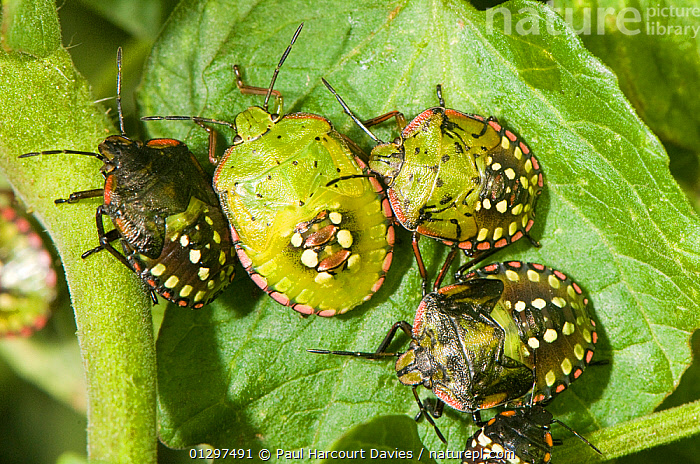 Shield / Southern Green Stink Bugs (Nezara viridula) shown here in various nymphal stages. They can cause damage to peas, potatoes and tomatoes. Italy, Europe.  ,  BUGS,EUROPE,HEMIPTERA,IMMATURE,INSECTS,INVERTEBRATES,ITALY,JUVENILE,NYMPHS,PENTATOMIDAE,PESTS,SHIELDBUGS,VEGETABLES  ,  Paul Harcourt Davies