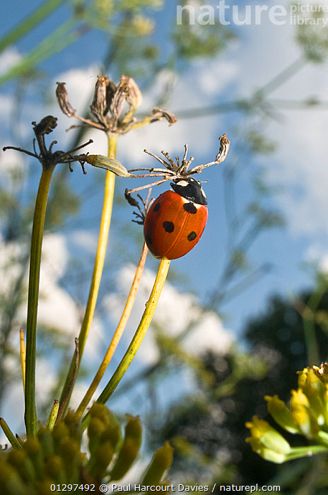 7-spot Ladybird (Coccinella septempunctata) in a garden, Italy, Europe.  ,  BEETLES,COLEOPTERA,EUROPE,GARDENS,INSECTS,INVERTEBRATES,ITALY,LADYBIRDS  ,  Paul Harcourt Davies