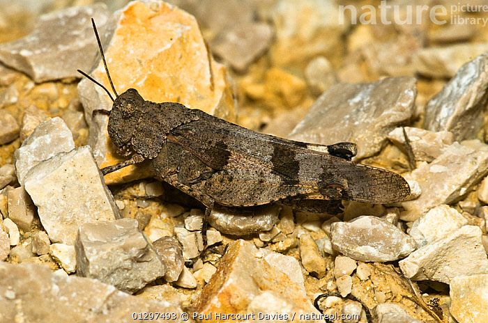 Blue Winged Grasshopper (Oedipoda caerulescens) on stone covered ground, Italy, Europe.  ,  CAMOUFLAGE,EUROPE,GRASSHOPPERS,INSECTS,INVERTEBRATES,ITALY,ORTHOPTERA,SHORT HORNED GRASSHOPPERS  ,  Paul Harcourt Davies