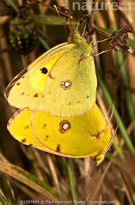 Clouded yellow butterflies (Colias croecea) mating pair, with lighter coloured female above. Italy, Europe.  ,  ARTHROPODS,BEHAVIOUR,BUTTERFLIES,COLOURFUL,COPULATION,EUROPE,INSECTS,INVERTEBRATES,ITALY,LEPIDOPTERA,MALE FEMALE PAIR,MIGRANT,MIGRANTS,YELLOW,Reproduction  ,  Paul Harcourt Davies