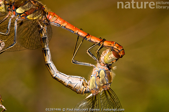 Ruddy Darter dragonflies (Sympetrum sanguineum) close up of mating. Male is red, and above the female. Italy, Europe.  ,  BEHAVIOUR,CLOSE UPS,COPULATION,DRAGONFLIES,EUROPE,FEMALES,INSECTS,INVERTEBRATES,ITALY,MACRO,MALES,ODONATA,SUMMER,Reproduction  ,  Paul Harcourt Davies