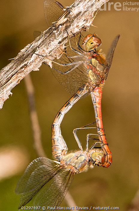 Ruddy Darter dragonflies (Sympetrum sanguineum) close up of mating. Male is red, and above the female. Italy, Europe.  ,  BEHAVIOUR,CLOSE UPS,COPULATION,DRAGONFLIES,EUROPE,INSECTS,INVERTEBRATES,ITALY,MACRO,ODONATA,SUMMER,Reproduction  ,  Paul Harcourt Davies