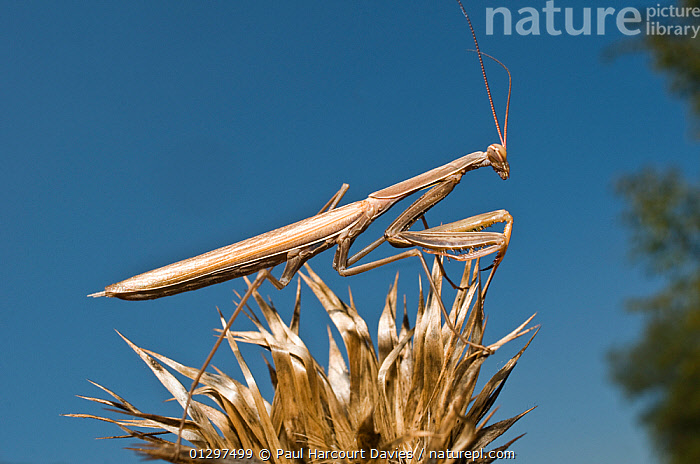 European Praying Mantis (Mantis religiosa)  camouflaged within dried thistle stems. Italy, Europe  ,  ARTHROPODS,CAMOUFLAGE,EUROPE,INSECTS,INVERTEBRATES,ITALY,MANTIDS,MANTODEA  ,  Paul Harcourt Davies