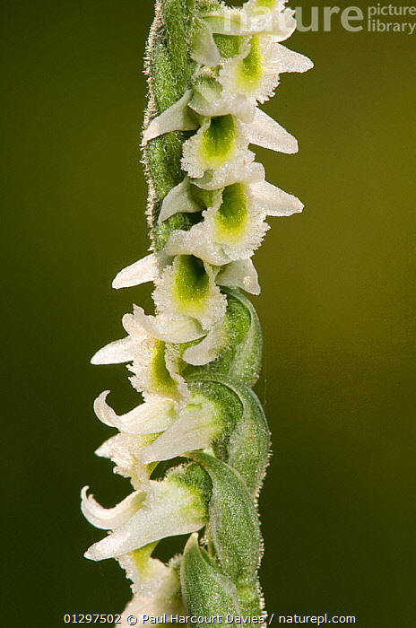Autumn ladies tresses Orchid (Spiranthes spiralis) close-up of flowering stem, Italy, Europe.  ,  EUROPE,FLOWERS,ITALY,MACRO,MONOCOTYLEDONS,ORCHIDACEAE,PLANTS,WHITE  ,  Paul Harcourt Davies
