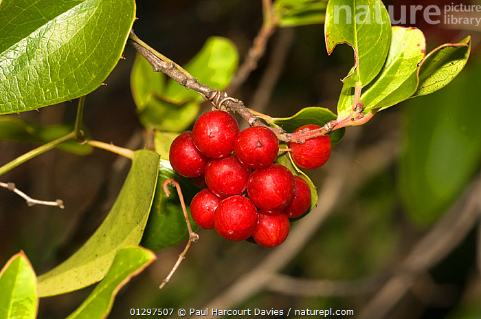 Common Smilax  (Smilax aspera) close-up of cluster of red berries in autumn. Italy, Europe.  ,  EUROPE,FRUIT,ITALY,MONOCOTYLEDONS,PLANTS,RED,SMILACACEAE  ,  Paul Harcourt Davies