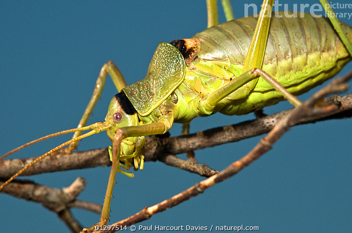 Grasshopper (Ephippiger ephippiger) close-up of head and body, climbing along twigs. Italy, Europe.  ,  BUSH CRICKETS,CLOSE UPS,EUROPE,GRASSHOPPERS,INSECTS,INVERTEBRATES,ITALY,KATYDIDS,LONG HORNED GRASSHOPPERS,ORTHOPTERA  ,  Paul Harcourt Davies