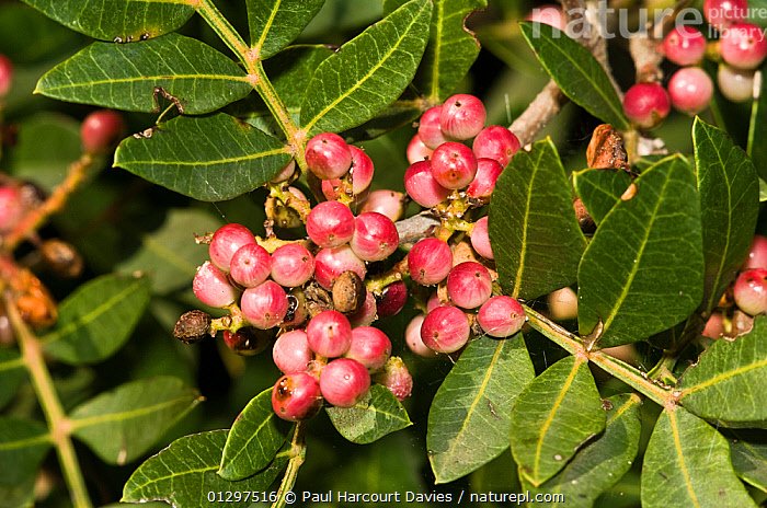 Turpentine / Mastic Tree branch (Pistacia lentiscus) with clusters of pink berries, Italy, Europe.  ,  ANACARDIACEAE,DICOTYLEDONS,EUROPE,EVERGREEN,ITALY,PINK,PLANTS  ,  Paul Harcourt Davies