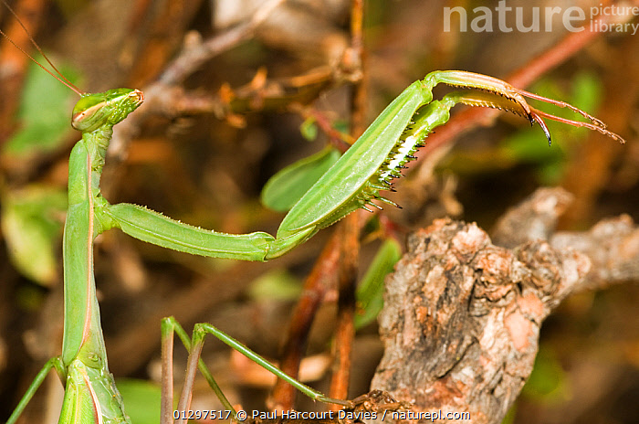 European Praying Mantis adult (Mantis religiosa) head portrait, with legs held aloft, Orvieto, Italy, Europe.  ,  ARTHROPODS,EUROPE,INSECTS,INVERTEBRATES,ITALY,LEGS,MANTIDS,MANTODEA,PORTRAITS  ,  Paul Harcourt Davies