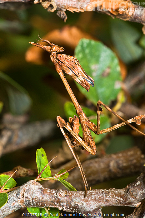 Crested  / Conehead / Praying Mantis (Empusa pennata) portrait on wooddland vegetation, Orvieto, Tuscany, Italy, Europe.  ,  ARTHROPODS,EUROPE,INSECTS,INVERTEBRATES,ITALY,MACRO,MANTODEA  ,  Paul Harcourt Davies