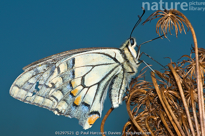 Common Swallowtail butterfly (Papilio machaon) at the end of summer showing wear to the wings. Italy, Europe.  ,  BUTTERFLIES,CLOSE UPS,COLOURFUL,EUROPE,INSECTS,INVERTEBRATES,ITALY,LEPIDOPTERA,SUMMER,SWALLOWTAIL BUTTERFLIES,WINGS  ,  Paul Harcourt Davies