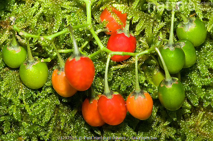 Bittersweet / Woody nightshade (Solanum dulcamara) with fruits of varying colours. Italy, Europe  ,  DICOTYLEDONS,EUROPE,FRUITS,GREEN,ITALY,MEDICINAL,PLANTS,RED,SOLANACEAE  ,  Paul Harcourt Davies