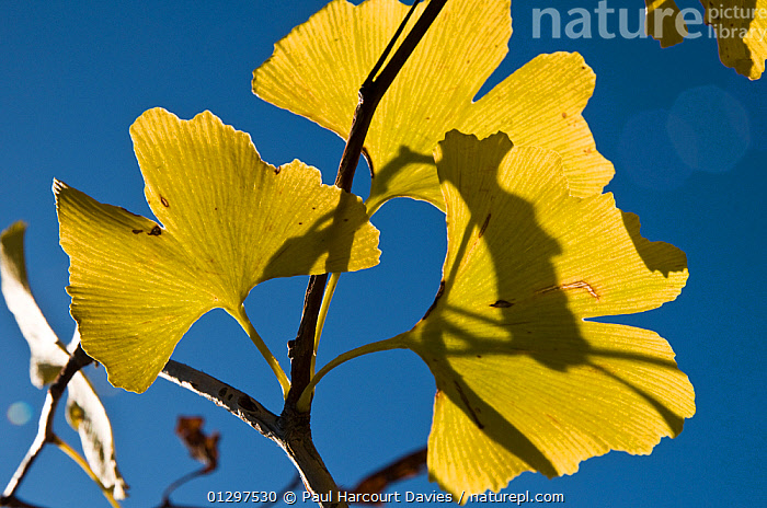 Ginko tree (Ginko biloba) close-up of leaves in yellow autumn colours. Italy, Europe.  ,  AUTUMN,CLOSE UPS,CONIFERS,CULTIVATED,EUROPE,GYMNOSPERMS,ITALY,LEAVES,MEDICINAL,TAXACEAE,YELLOW  ,  Paul Harcourt Davies