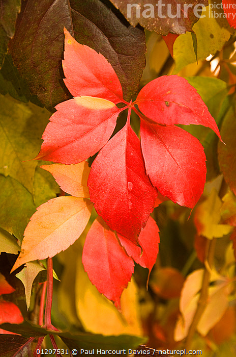 Virginia Creeper (Parthenocissus americana) stem of red leaves, in autumn. Italy, Europe.  ,  AUTUMN,CLIMBERS,CLOSE UPS,COLOURFUL,CULTIVATED,DICOTYLEDONS,EUROPE,ITALY,LEAVES,PLANTS,RED,VITACEAE  ,  Paul Harcourt Davies