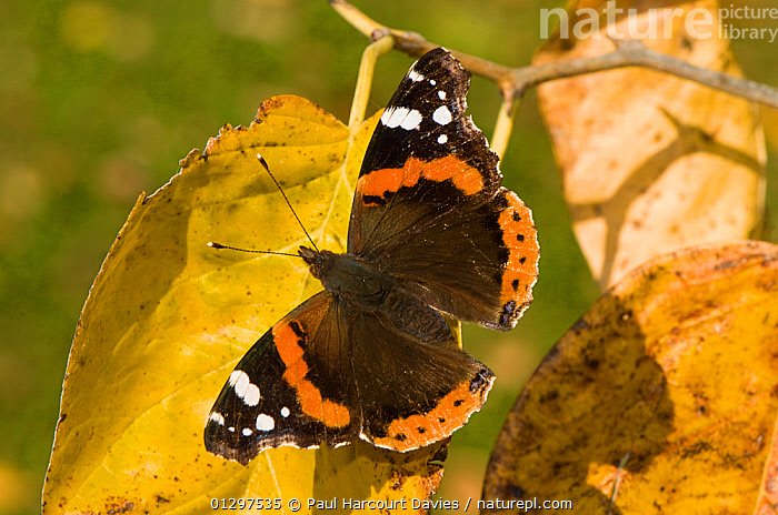 Red Admiral Butterfly (Vanessa atalanta) sunning itself in autumn sunshine, Orvieto, Italy, Europe.  ,  ARTHROPODS,AUTUMN,BUTTERFLIES,COLOURFUL,EUROPE,INSECTS,INVERTEBRATES,ITALY,LEPIDOPTERA,RED  ,  Paul Harcourt Davies