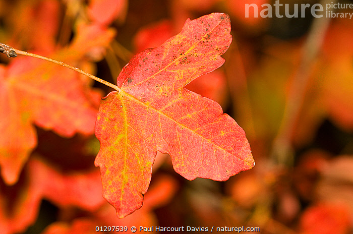 Montpellier maple in autumn (Acer monspessulanum) close-up of single leaf showing characteristic autumnal colours.  Orivieto, Italy, Europe.  ,  ACERACEAE,AUTUMN,COLOURFUL,DICOTYLEDONS,EUROPE,ITALY,LEAVES,PLANTS,RED  ,  Paul Harcourt Davies