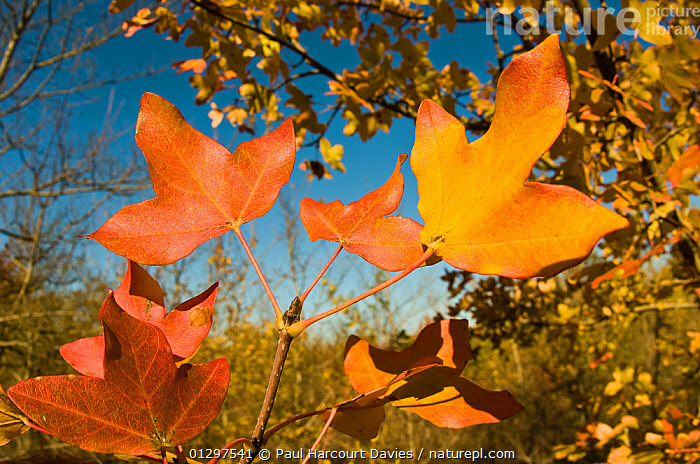 Montpellier maple (Acer monspessulanum) fisheye view of leaves showing characteristic autumnal colours, Orvieto, Italy, Europe.  ,  ACERACEAE,AUTUMN,COLOURFUL,DICOTYLEDONS,ITALY,LEAVES,ORANGE,PLANTS,RED,WOODLANDS,Europe  ,  Paul Harcourt Davies