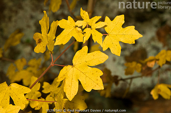 Field Maple (Acer campestre) view of leaves showing characteristic autumnal colours, Lazio, Italy, Europe.  ,  ACERACEAE,COLOURFUL,DICOTYLEDONS,EUROPE,ITALY,LEAVES,PLANTS,YELLOW  ,  Paul Harcourt Davies