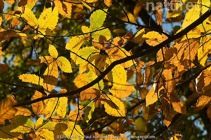 Sweet Chestnut tree (Castanea sativa) view of leaves showing characteristic autumnal colours, Lazio, Italy, Europe.  ,  AUTUMN,COLOURFUL,DICOTYLEDONS,EUROPE,FAGACEAE,ITALY,LEAVES,PLANTS,YELLOW  ,  Paul Harcourt Davies