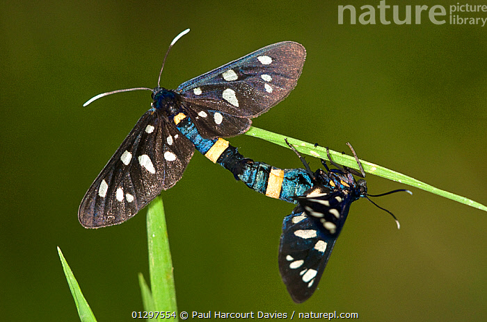 Nine potted moths (Amata phegea) mating pair. Montecucco, Tuscany, Italy, Europe.  ,  BEHAVIOUR, COLOURFUL, COPULATION, CTENUCHIDAE, CTENUCHINAE, INSECTS, INVERTEBRATES, LEPIDOPTERA, MALE-FEMALE-PAIR, NOCTUID-MOTHS,Reproduction,Europe  ,  Paul Harcourt Davies