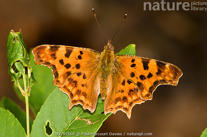 Comma butterfly  (Polygonia c-album) at rest with wings open on leaf, Montecucco, Italy, Europe.  ,  ARTHROPODS,BUTTERFLIES,EUROPE,INSECTS,INVERTEBRATES,ITALY,LEPIDOPTERA  ,  Paul Harcourt Davies