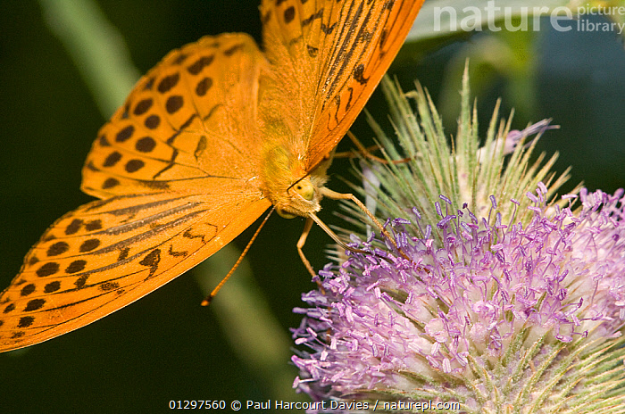 Silver-Washed Fritillary butterfly (Argynnis paphia) feeding on nectar from flower, Montecucco, Italy, Europe.  ,  ARTHROPODS,BUTTERFLIES,CLOSE UPS,COLOURFUL,EUROPE,INSECTS,INVERTEBRATES,ITALY,LEPIDOPTERA,MACRO  ,  Paul Harcourt Davies