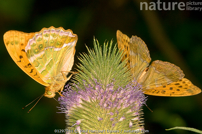 Silver-Washed Fritillary butterflys (Argynnis paphia) feeding on nectar from flower, Montecucco, Italy, Europe.  ,  ARTHROPODS,BUTTERFLIES,EUROPE,FEEDING,FLOWERS,INSECTS,INVERTEBRATES,ITALY,LEPIDOPTERA,TWO  ,  Paul Harcourt Davies