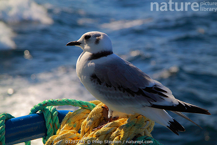Young Kittiwake (Rissa tridactyla) resting on the edge of a North Sea trawler, July.  ,  BIRDS,BOATS,EUROPE,GULLS,JUVENILE,PORTRAITS,ROPES,SEABIRDS,TRAWLERS,VERTEBRATES,BOAT-PARTS,WORKING-BOATS  ,  Philip Stephen