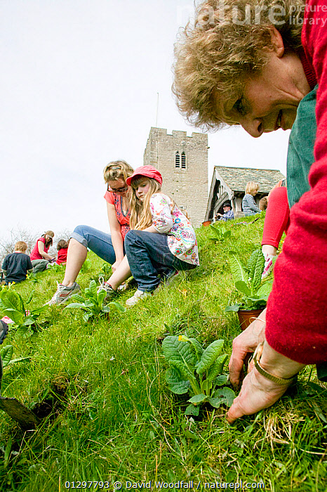 People of Henllan village 'Bee Friendly Project'  planting Cowslips (Primula Veris) in churchyard to attract wild and honey bees, organised by North Wales Wildlife Trust and Cadwyn Clwyd, Community Nature Conservation. Wales, UK April 2010  ,  APIS MELLIFERA,BUILDINGS,CAUCASIAN,CHILDREN,CHURCHES,CHURCH YARD,COMMUNITIES,COMMUNITY,CONSERVATION,COWSLIP,DIGGING,EUROPE,FAMILIES,FLOWERS,GARDENING,LANDSCAPES,OUTDOORS,PEOPLE,PLANTING,PRIMULA VERIS,UK,VILLAGES,WOMAN,United Kingdom ,honeybee,honeybees  ,  David Woodfall