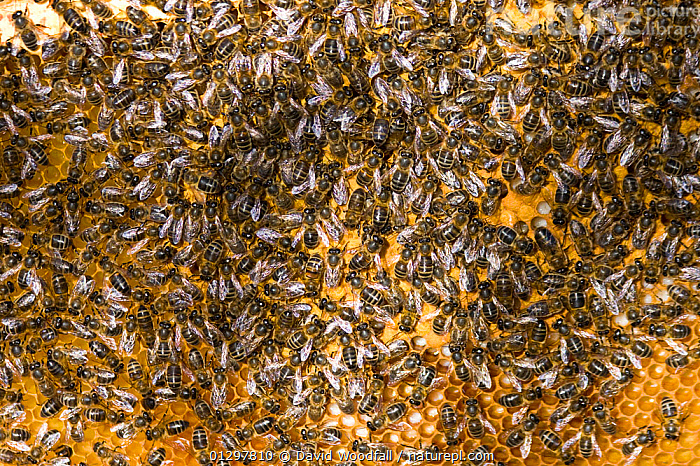 Close up of European honeybees (Apis mellifera) on beekeepers comb within hive, Cilcain, North Wales, UK April 2010  ,  ARTHROPODS,BEEKEEPERS,BEE KEEPING,BEES,COLONY,DRONES,HONEY,HONEY COMBS,HYMENOPTERA,INSECTS,INVERTEBRATES,MANY,UK,WALES,Europe,United Kingdom ,honeybee,honeybees  ,  David Woodfall